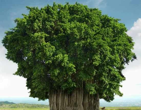 世界上树冠最大的树