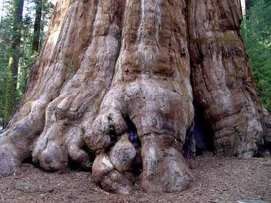 世界上最大的树