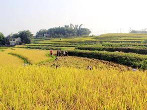 世界上最早的水稻田
