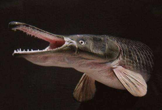 世界十大最凶猛的淡水鱼