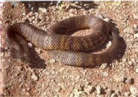 世界上最毒的蛇