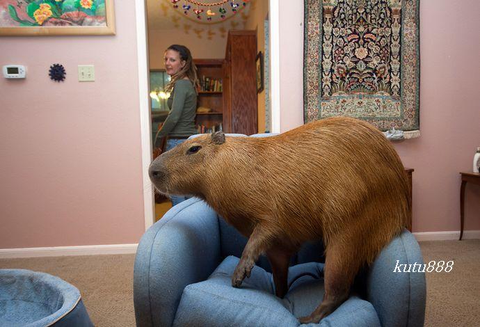 世界上最大的老鼠