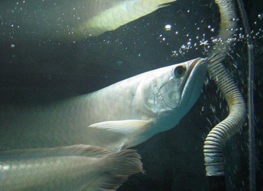 世界上最贵的鱼是什么鱼
