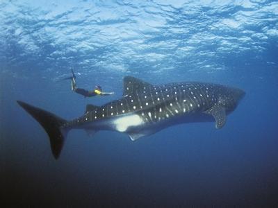 世界上最大的鱼