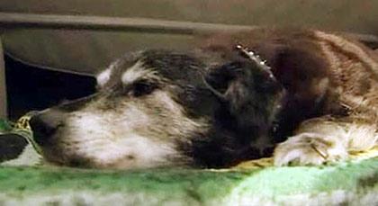 世界上最长寿的狗