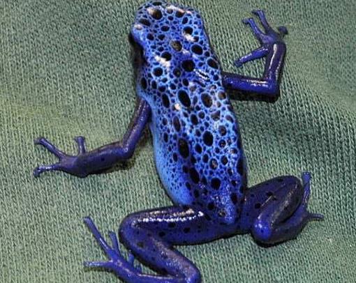毒箭蛙:世界上最毒的青蛙可杀死人
