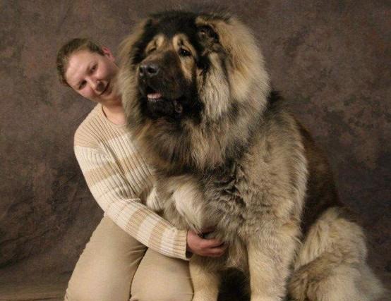 世界上最大的狗,世界上最大的狗排名