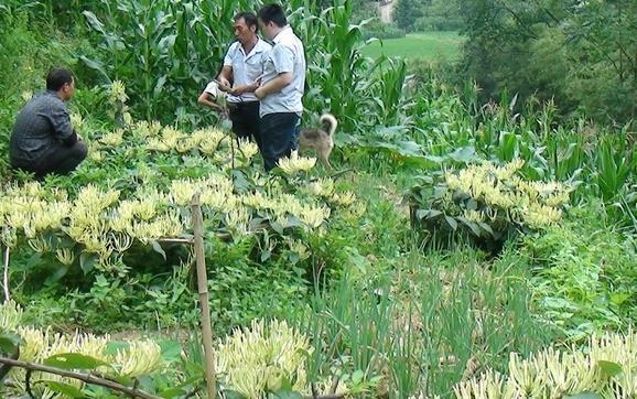世界上最长的金银花
