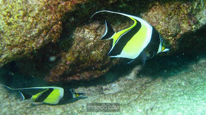 镰鱼(神像鱼)