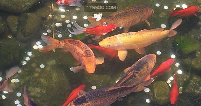 金鱼能记住发生在一个月以上的事情