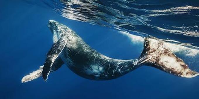 世界最大的哺乳动物蓝鲸