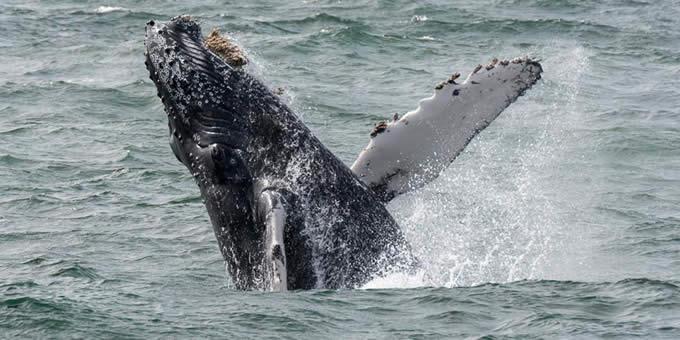 蓝鲸主要以磷虾为食