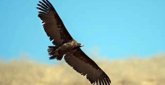 阿根廷巨鹰是发明滑翔机的灵感来源
