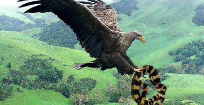 阿根廷巨鹰吃什么饲料