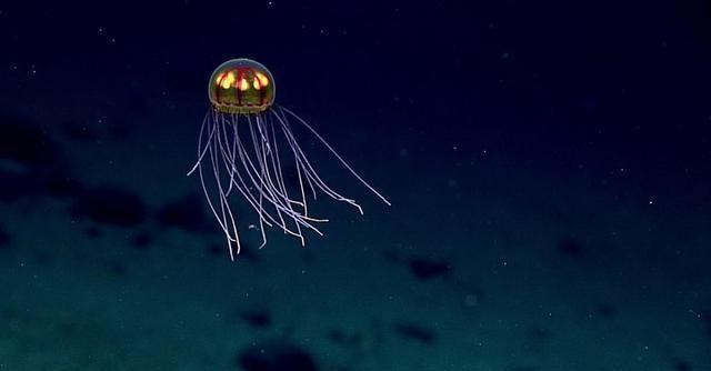 马里亚纳海沟:美丽水螅水母