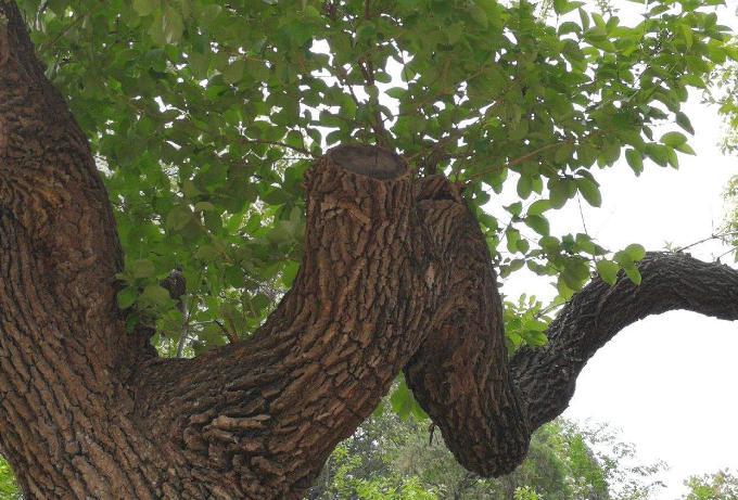 真正的降龙木长什么样子