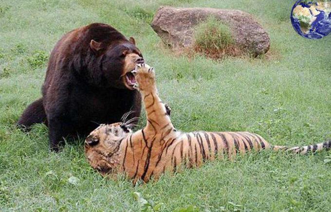 科迪亚克棕熊力气多大