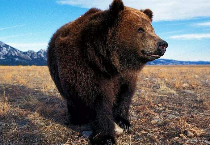 科迪亚克棕熊的形态特征