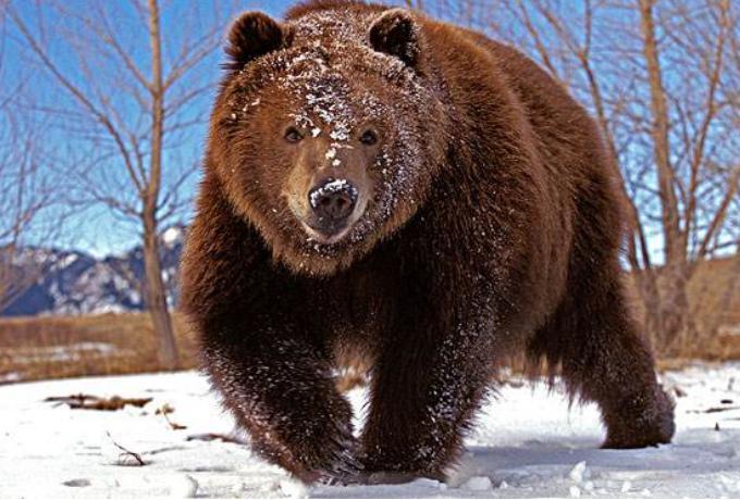 科迪亚克棕熊的生活习性
