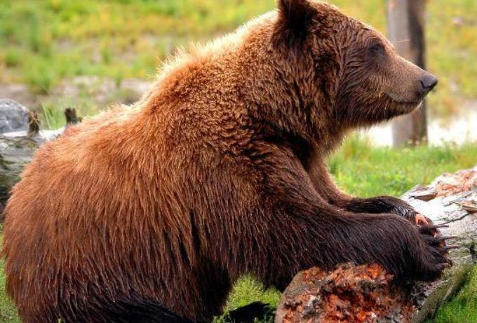 科迪亚克岛棕熊vs大象