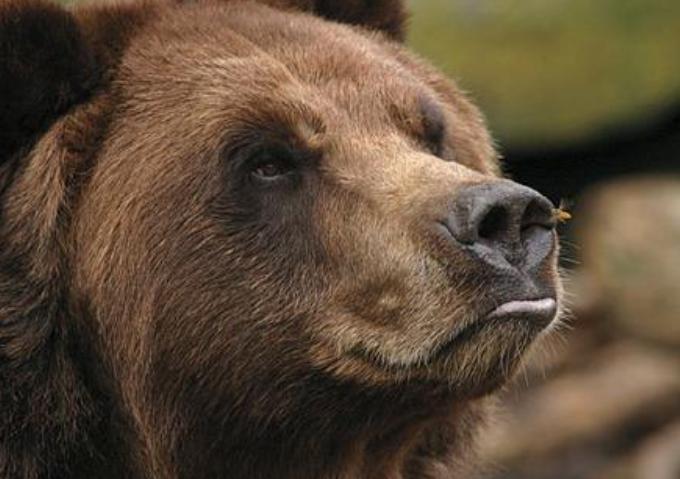 科迪亚克棕熊vs河马