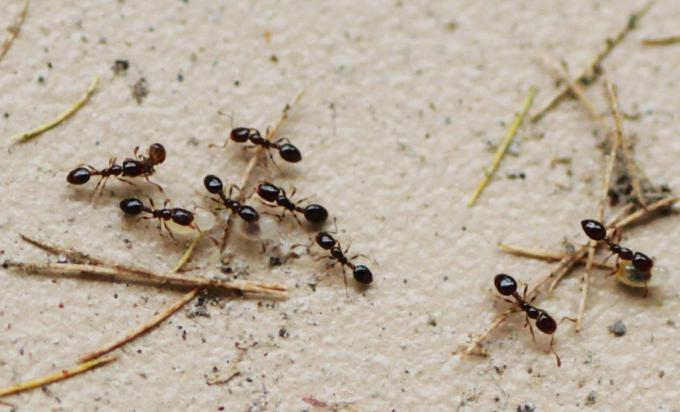 蚂蚁怕什么气味和东西