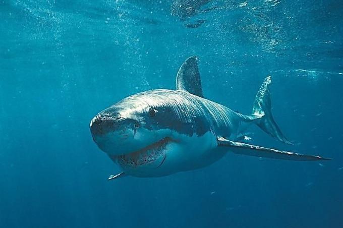 巨齿鲨的天敌是谁