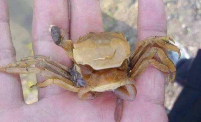 螃蟹脱壳痛么