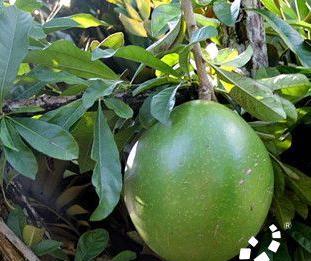 炸弹树 又名铁西瓜