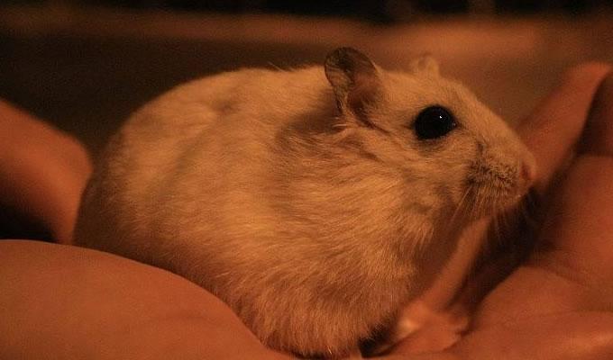 老鼠的智商有多高