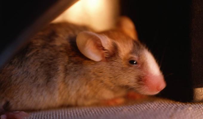 如果家里有老鼠如何灭鼠