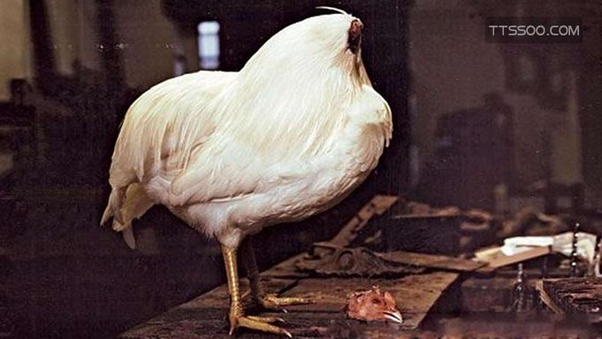 无头鸡是真的吗