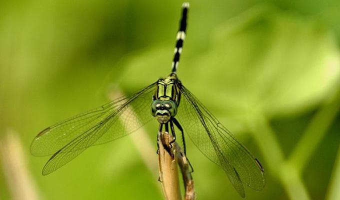 鬼蜻蜓图片