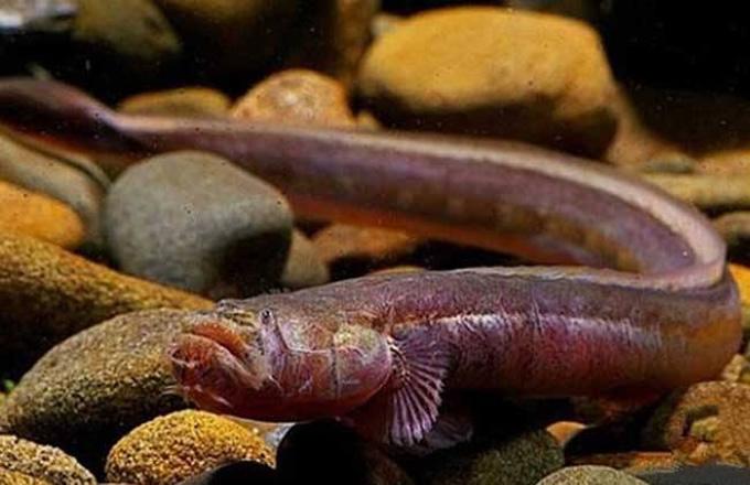 红狼牙鰕虎鱼有毒吗