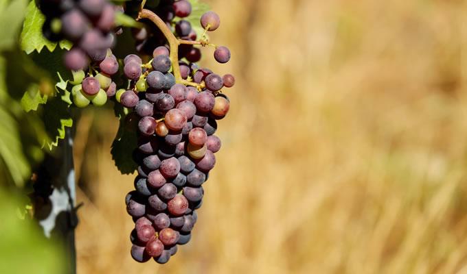 中国种植葡萄始于西汉