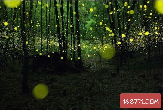 萤火虫为什么会发光,在有限的时间寻找自己的伴侣