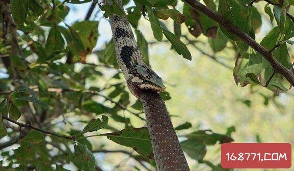 公园惊现藤蛇活吞非洲树蛇,两毒蛇之间的生死搏斗