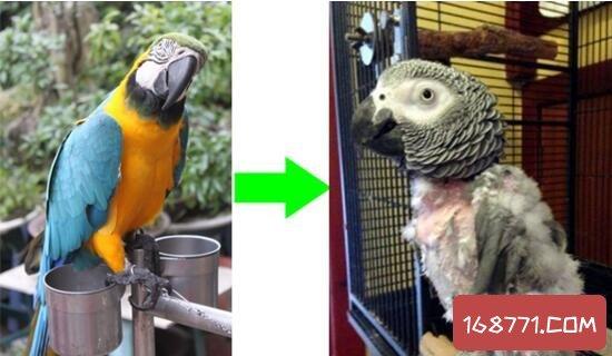 抑郁症鹦鹉被主人冷落,竟然自残扒光身上所有羽毛