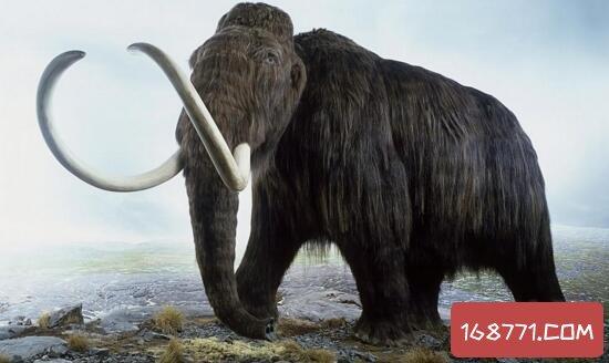 猛犸象牙怎么来的,猛犸象已灭绝万年还被贩卖