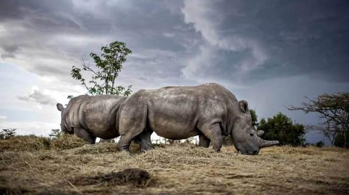 全球最后一头白犀牛