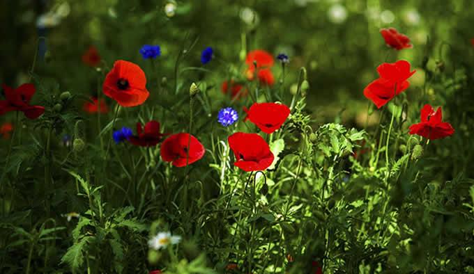 冥界四花之罂粟花