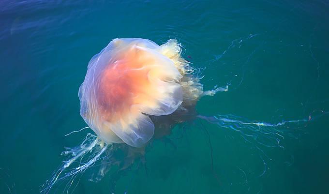 北极霞水母可以吃吗,有毒吗?