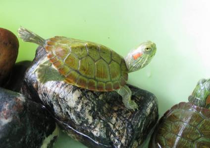 巴西红耳龟会认人吗