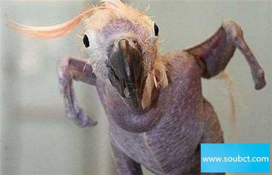 抑郁症鹦鹉三年内拔光自己的毛,因被冷落患抑郁症