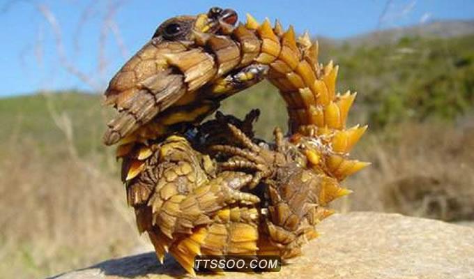 犰狳环尾蜥生活习性