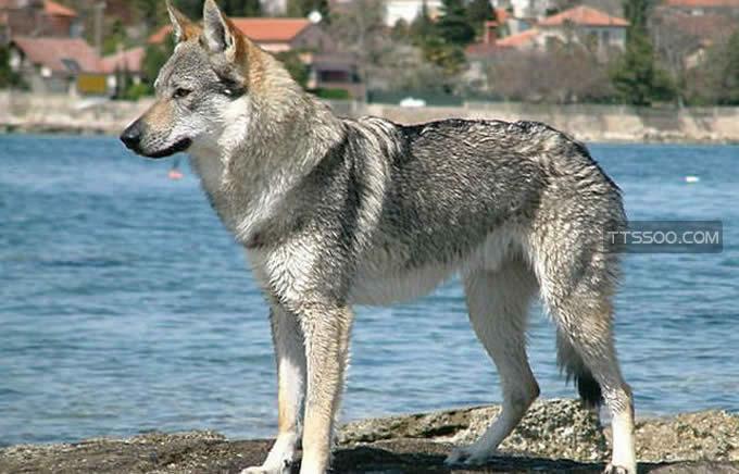 捷克狼犬在中国禁养吗