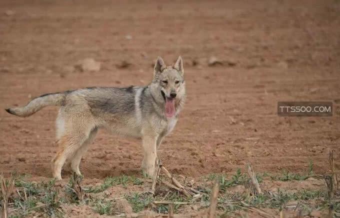 捷克狼犬为什么这么贵