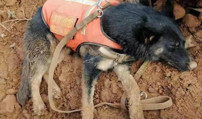 地震搜救犬为什么全部处死