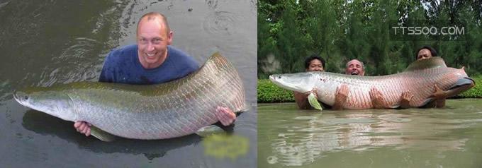 巨骨舌鱼最大记录