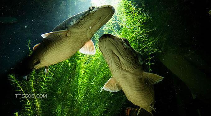 巨骨舌鱼攻击人吗
